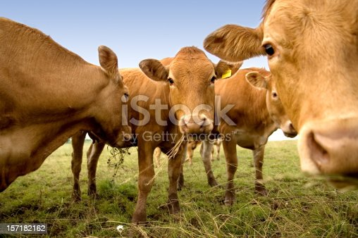 Group of curious cows munching on hay.