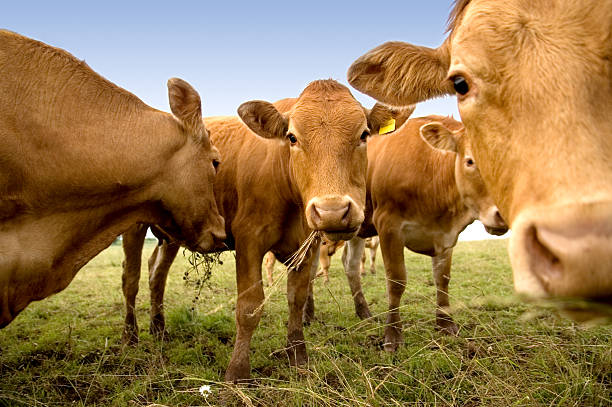 Curious Cows Group of curious cows munching on hay. cattle stock pictures, royalty-free photos & images