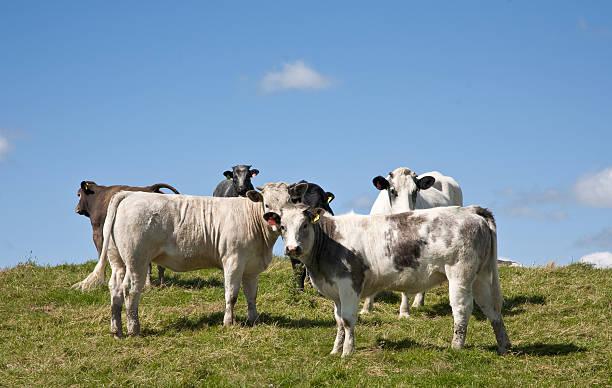 Neugierig Kühe – Foto