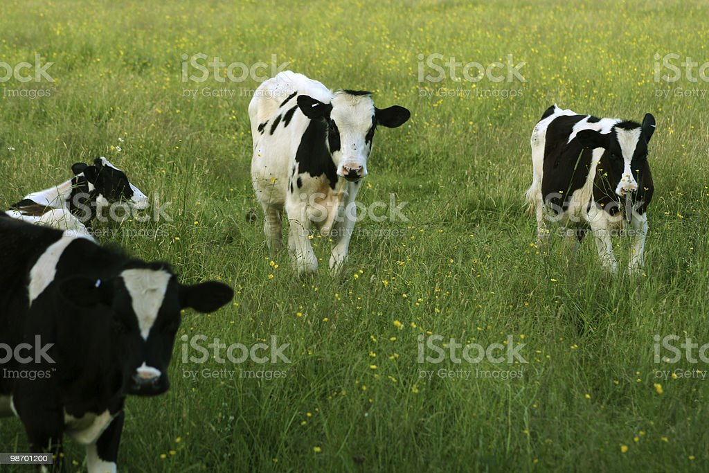 Curious Cows royalty-free stock photo