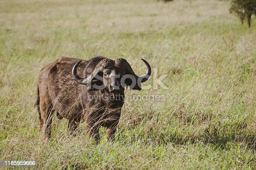 Beautiful shot of black African Buffalo (Syncerus caffer) looking straight at the camera. Standing in plain of tall green / slightly yellowed grass. Tsavo East National Park, Kenya -Image