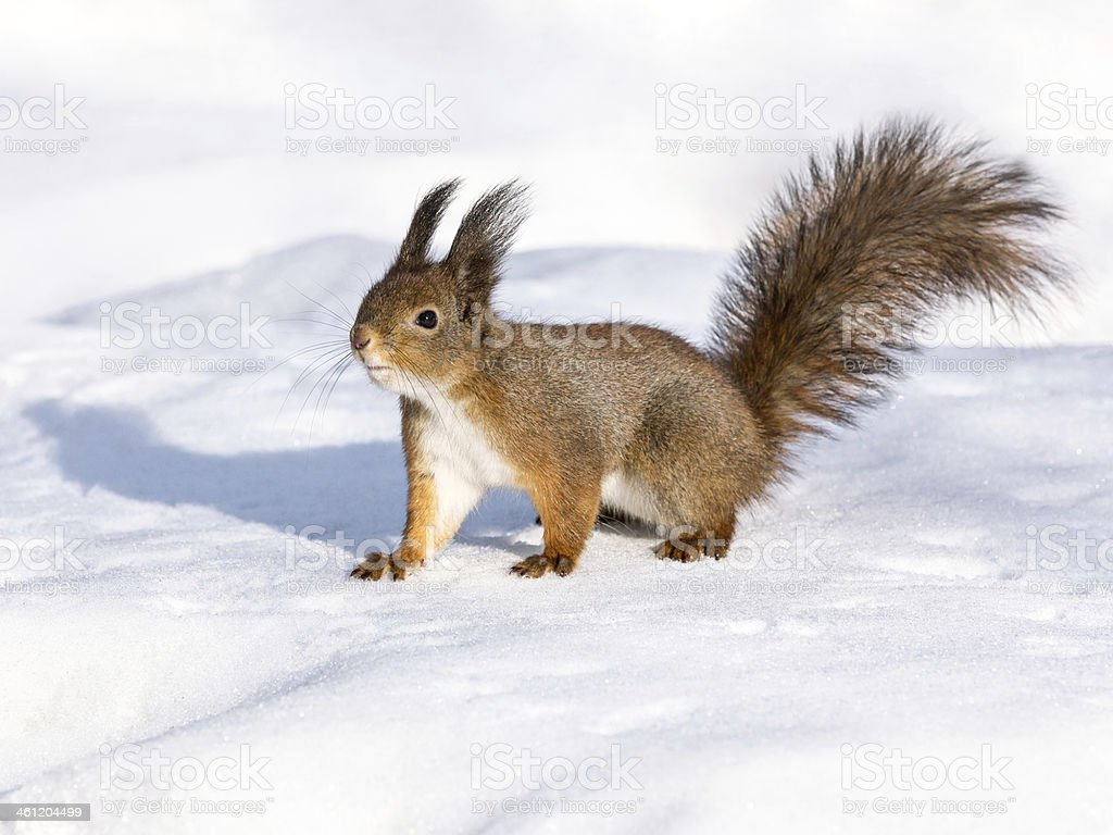 Curious cute red squirrel on snow stock photo