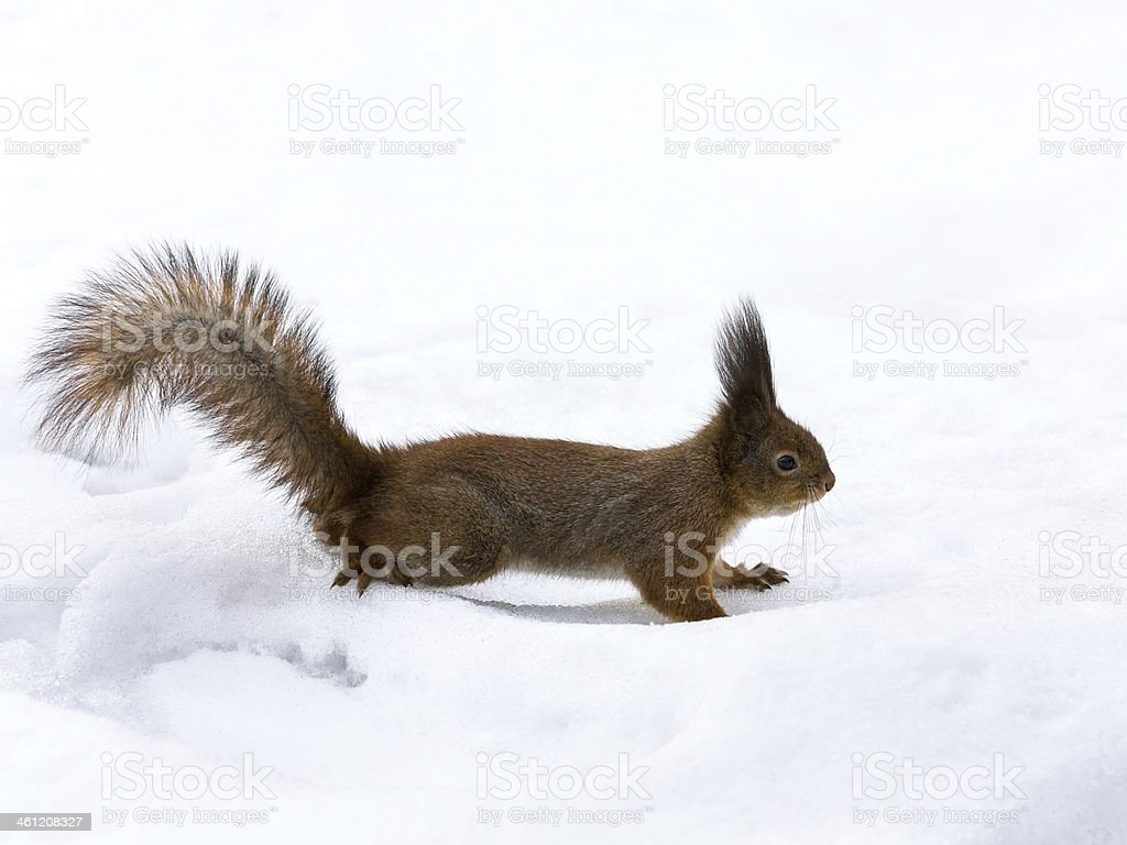 Curious cute red squirrel stock photo