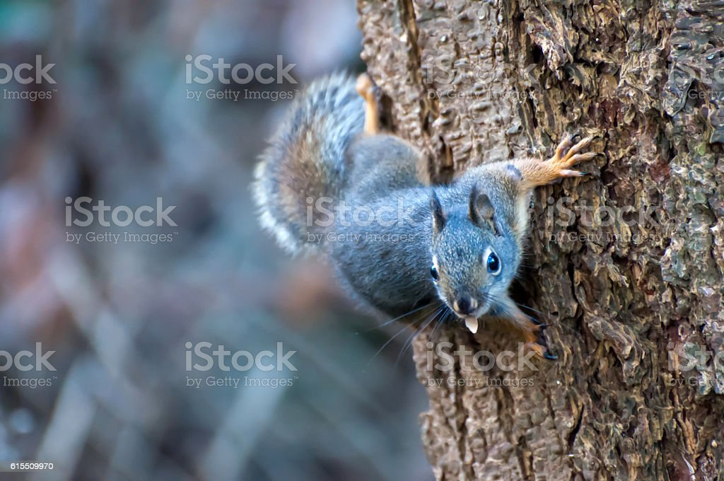 Curious cute squirrel climbing up a pine tree trunk stock photo
