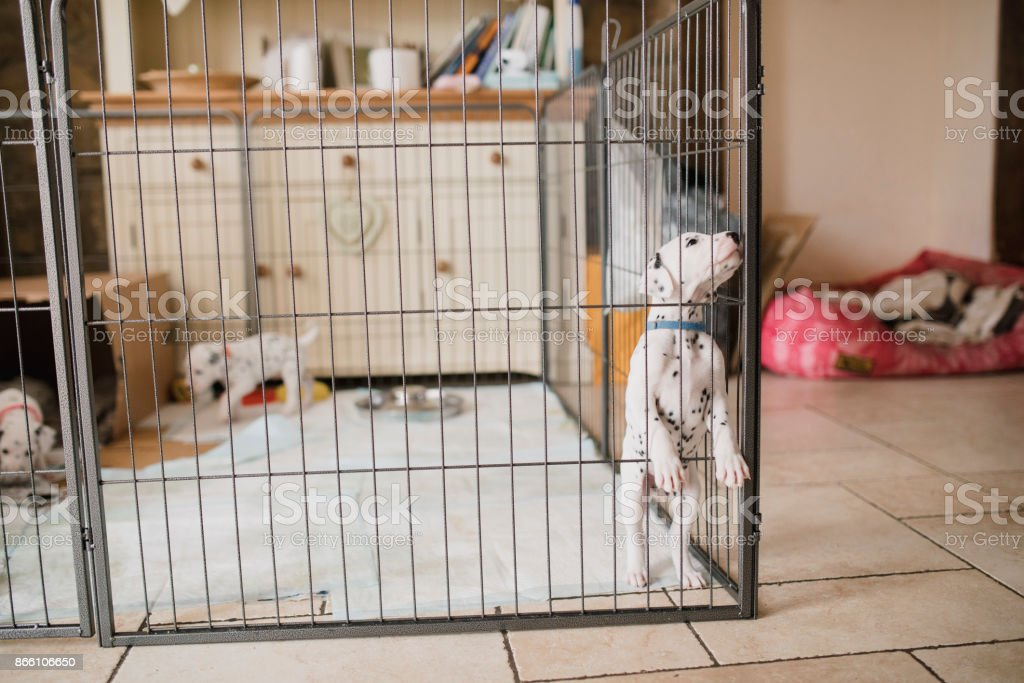 Curious Dalmatian Puppy In A Playpen stock photo