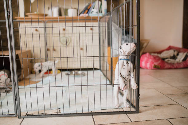 curious dalmatian puppy in a playpen - playpen stock pictures, royalty-free photos & images