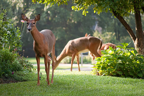 curious deer looking grazing in the morning stock photo