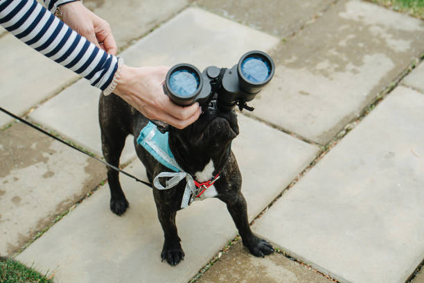 Curious dog. Funny pug looking through binoculars Curious dog. Funny pug looking through binoculars up in the sky. High angle. Owner holding a tool. Moon reflecting in lenses. look through dog eyes stock pictures, royalty-free photos & images