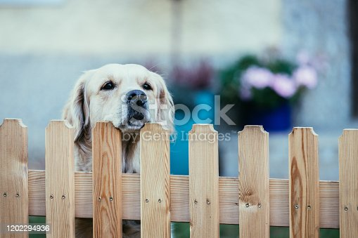 Close up of a curious dog, looking over a fence