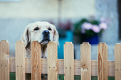 istock Curious dog looks over the garden fence 1202294936