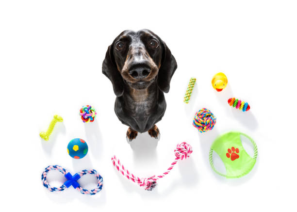 curious dog looks up with toys ready to play stock photo