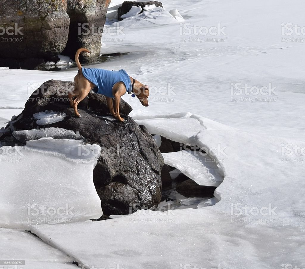 Curious dog peers into cracked ice on a pond. stock photo