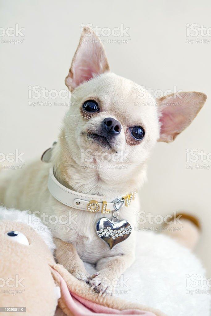 curious dog royalty-free stock photo