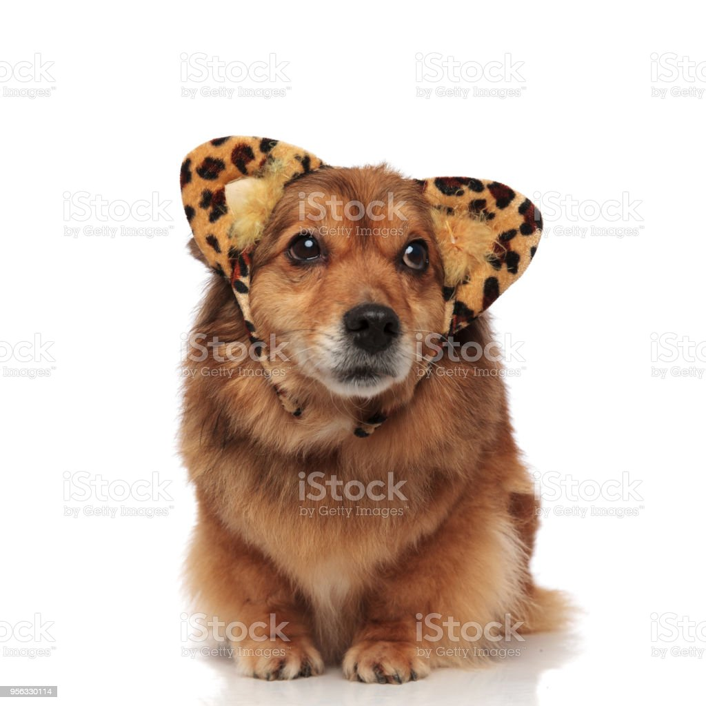 curious dog with animal print ears looks up to side stock photo