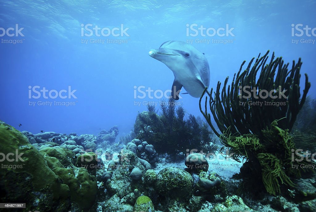 Curious Dolphin Caribbean stock photo