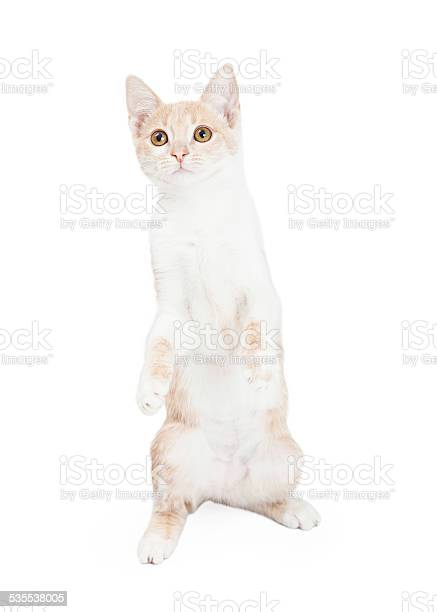 Curious domestic shorthair kitten begging picture id535538005?b=1&k=6&m=535538005&s=612x612&h=59txjmj8nqlj qfgfqi14kvooxclxawftqqkoi11w y=