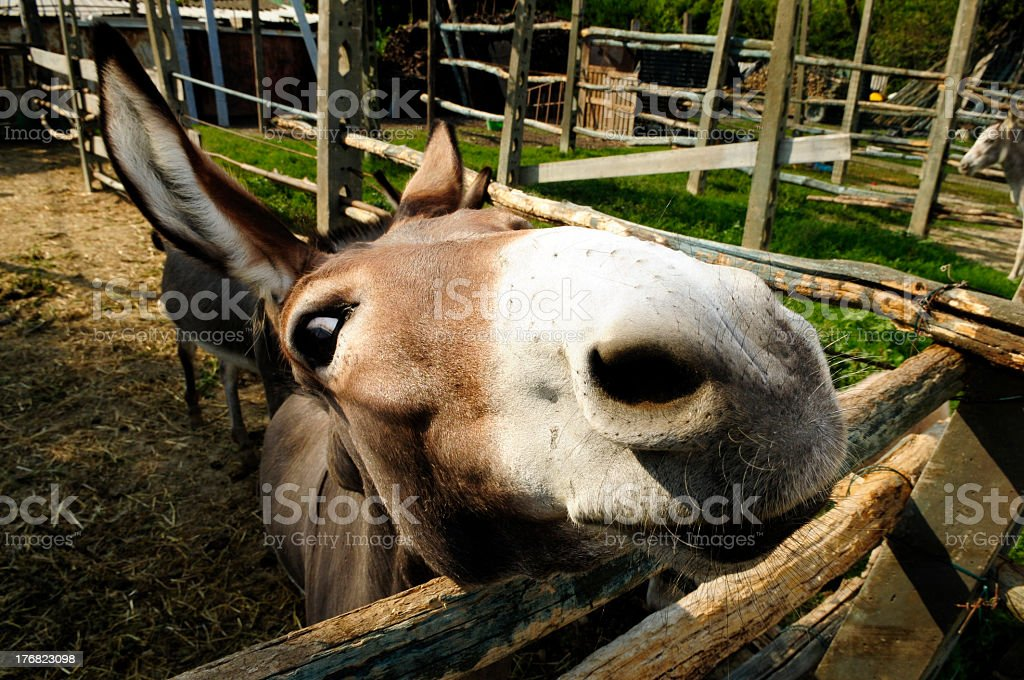Curious donkey looking me royalty-free stock photo