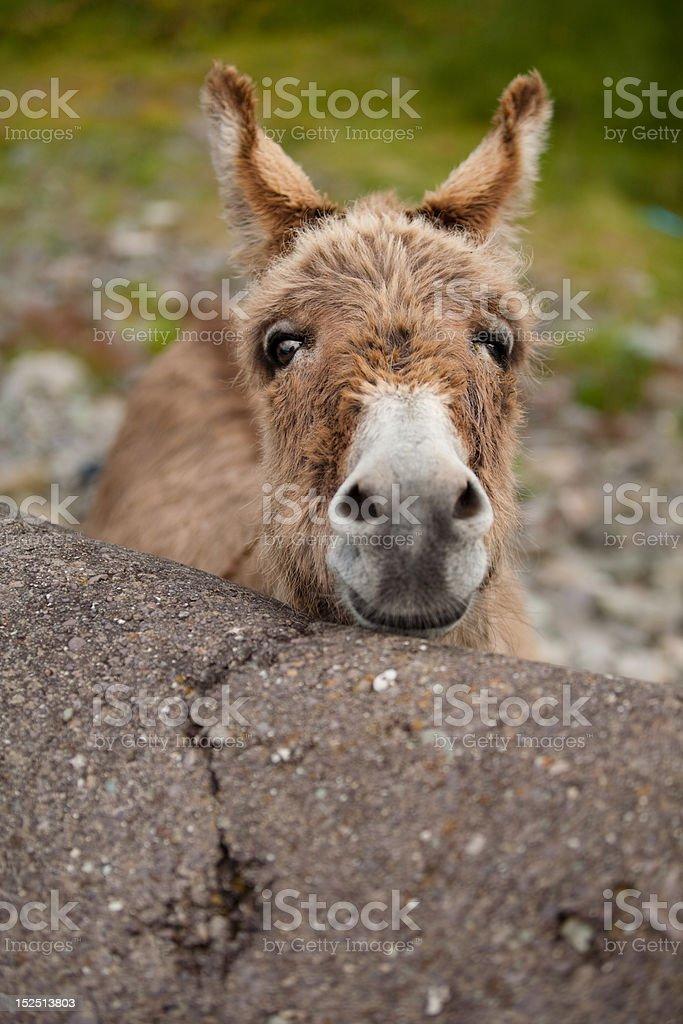 Curious Donkey stock photo