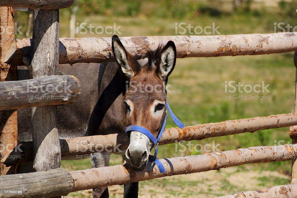 curious donkey royalty-free stock photo