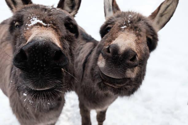 Neugierige Esel im Schnee – Foto