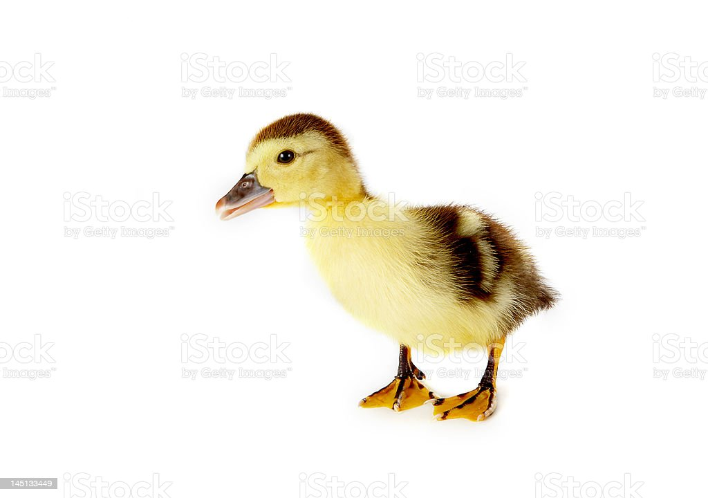 Curious duckling royalty-free stock photo