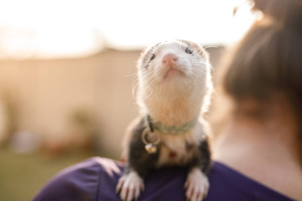 Curious ferret looking at the camera on a woman's shoulder stock photo