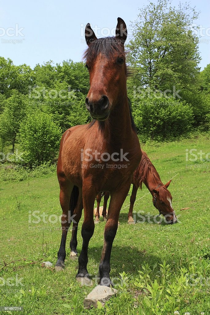 curious foal royalty-free stock photo