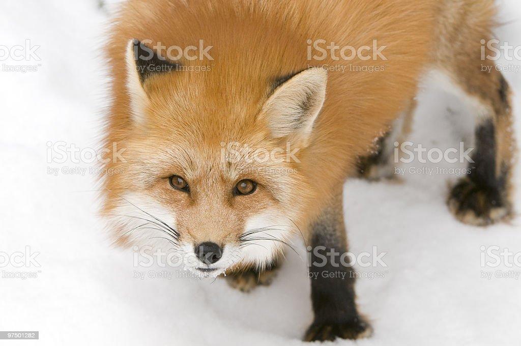 Curious Fox royalty-free stock photo