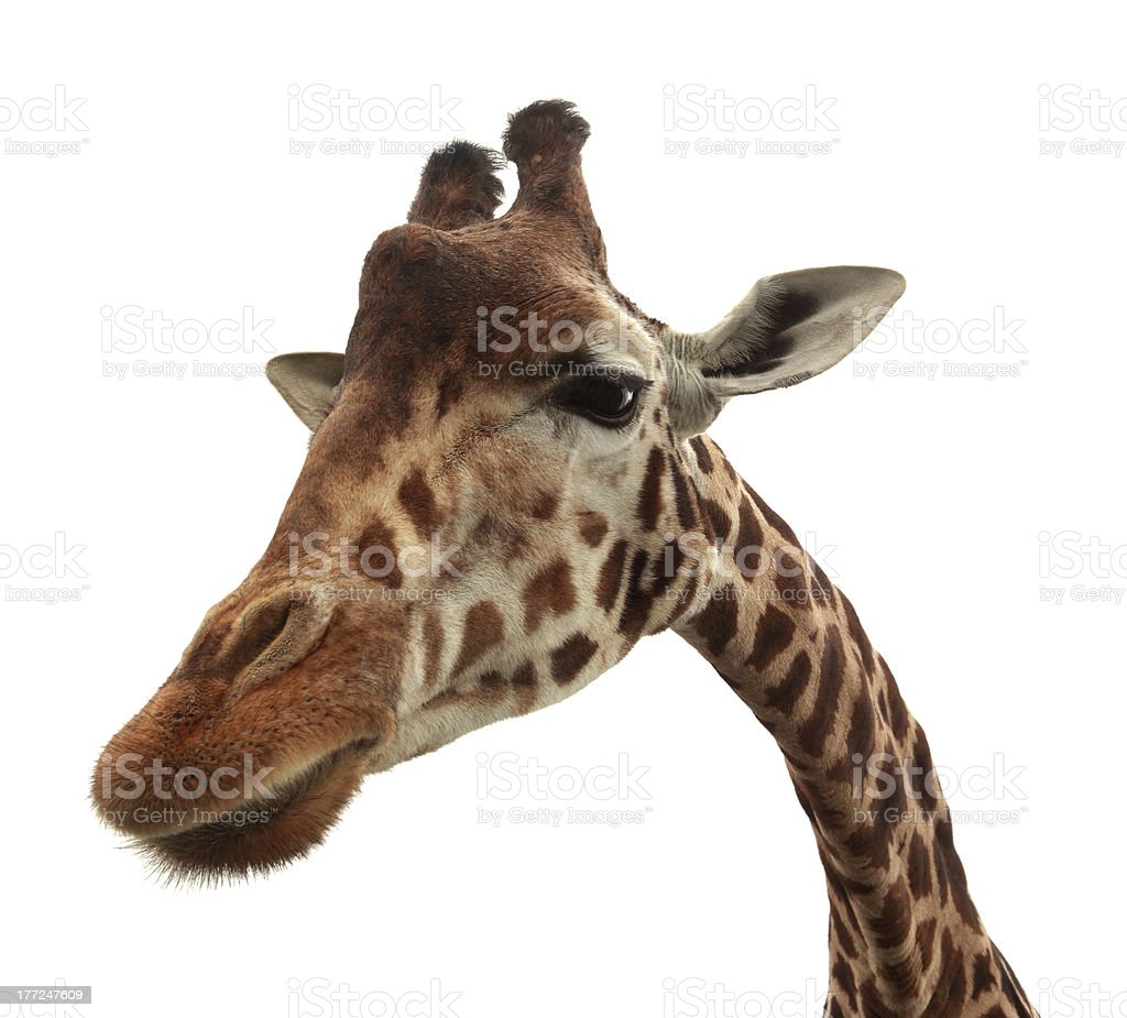 Curious funny giraffe royalty-free stock photo