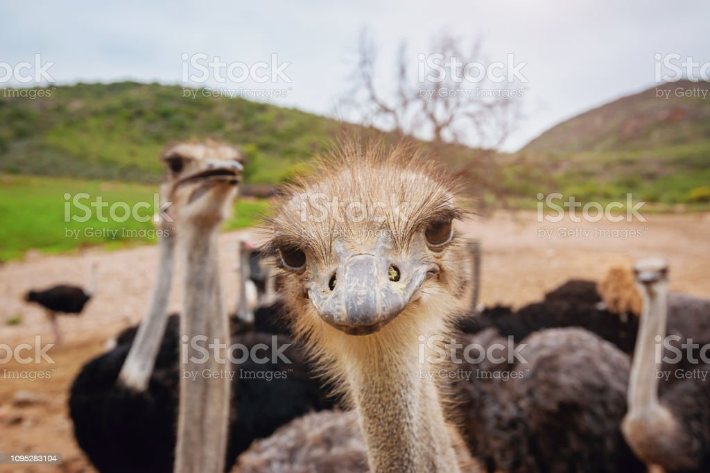 Curious Funny Ostrich stock photo