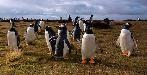 Curious gentoo penguins stock photo