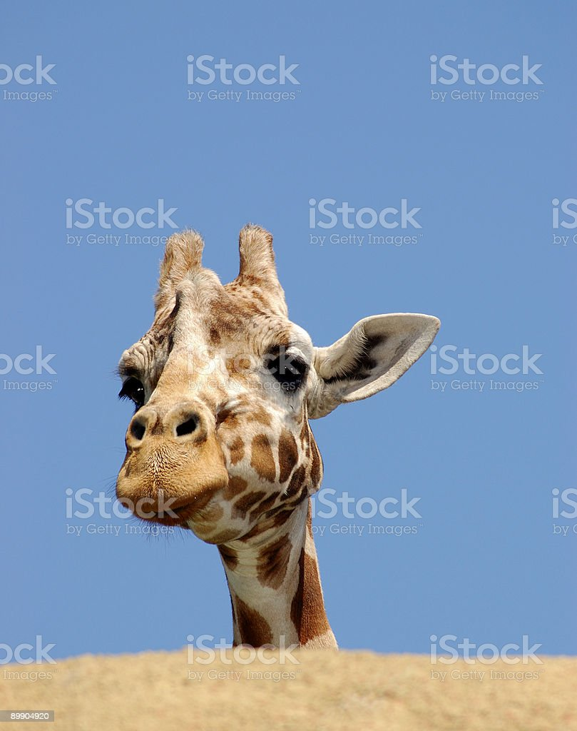 Curious giraffe behind the rock royalty-free stock photo