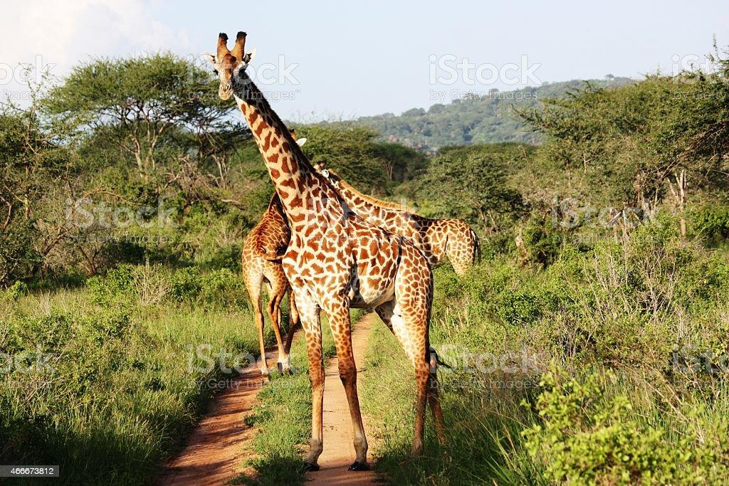 Curious Giraffe in the Masai Mara in Kenya stock photo