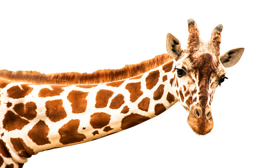 A curious giraffe looks into the camera, cut out