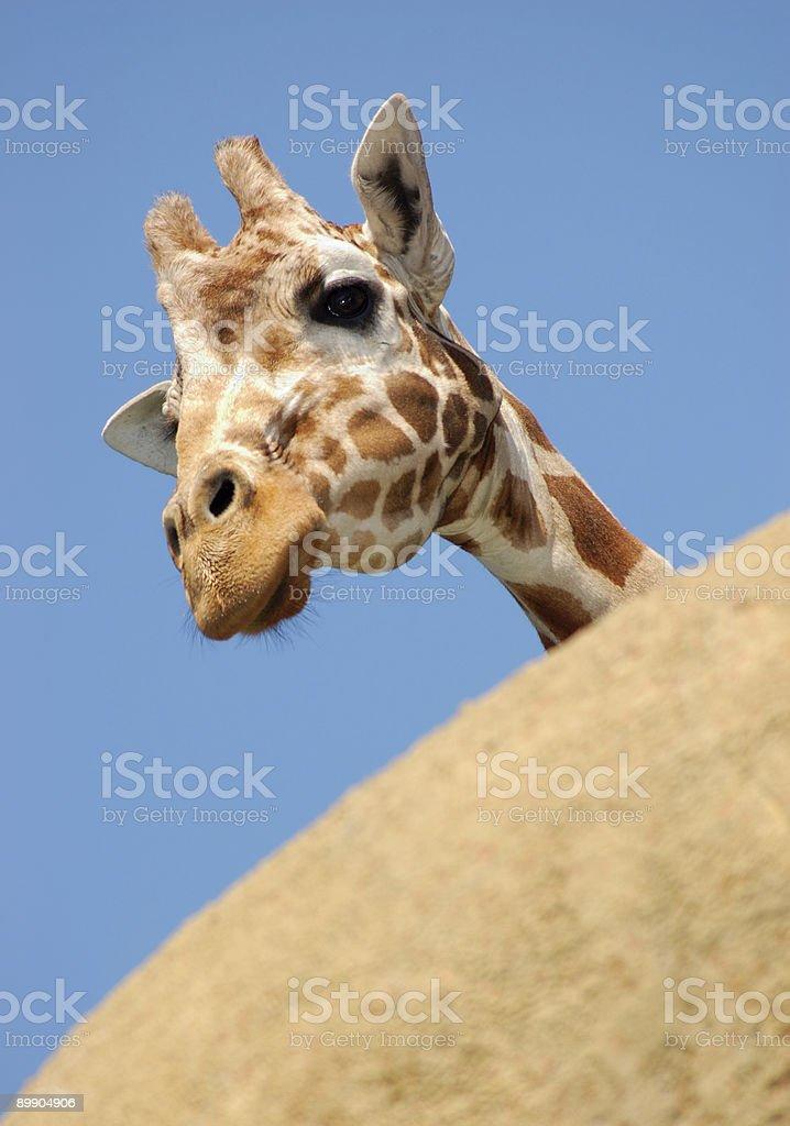 Curious giraffe peeking from behind a rock royalty-free stock photo
