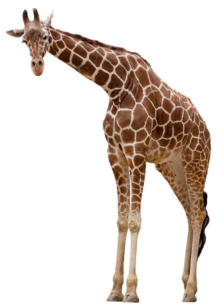 curious giraffe - giraffe stock photos and pictures