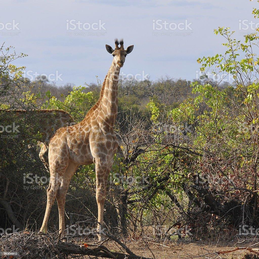 curious giraffe royalty-free stock photo