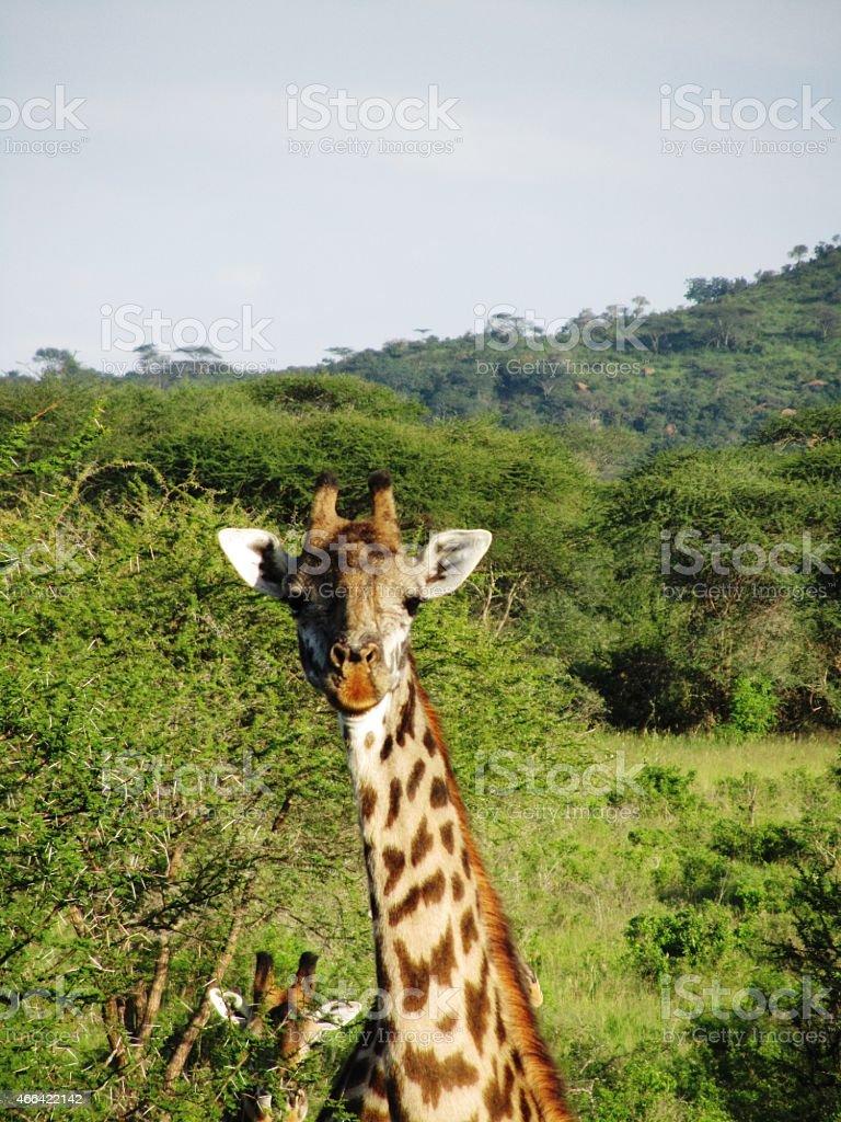 Curious Giraffes in the Masai Mara in Kenya stock photo