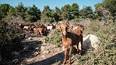 A local brown goat, away from the herd, looking at the camera, Mount Carmel, Israel.