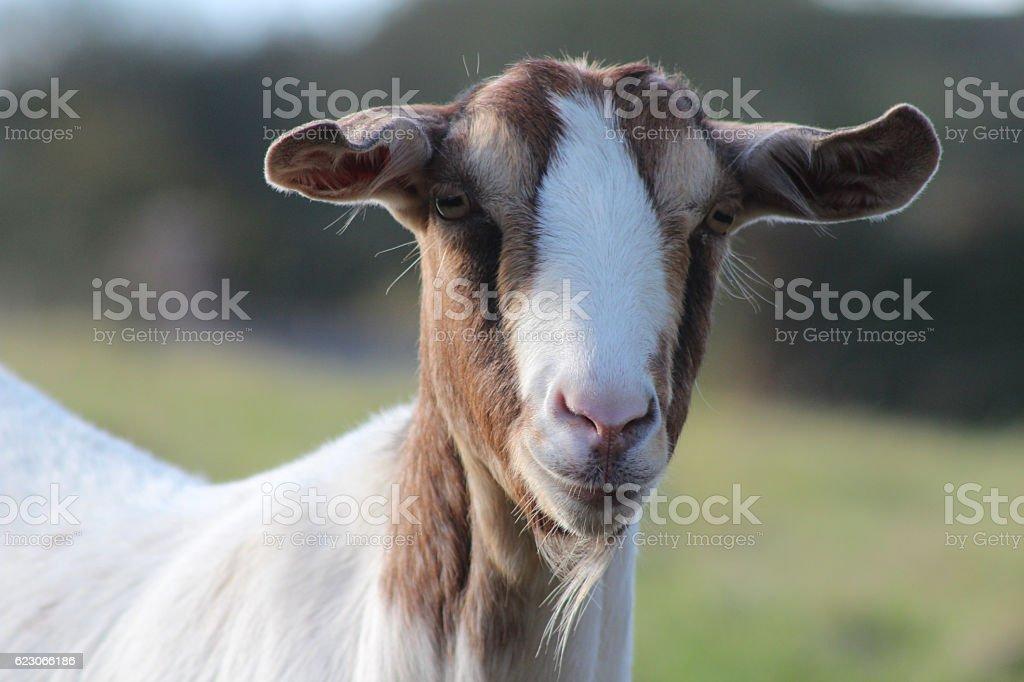 Chèvre curieuse  - Photo