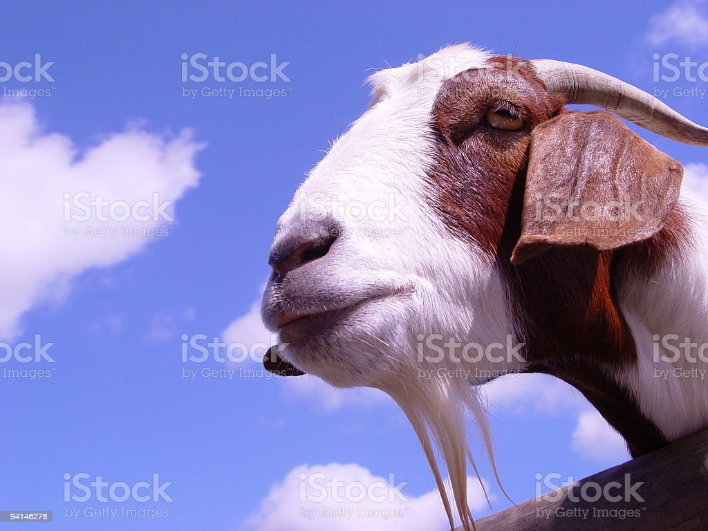 Curious goat royalty-free stock photo