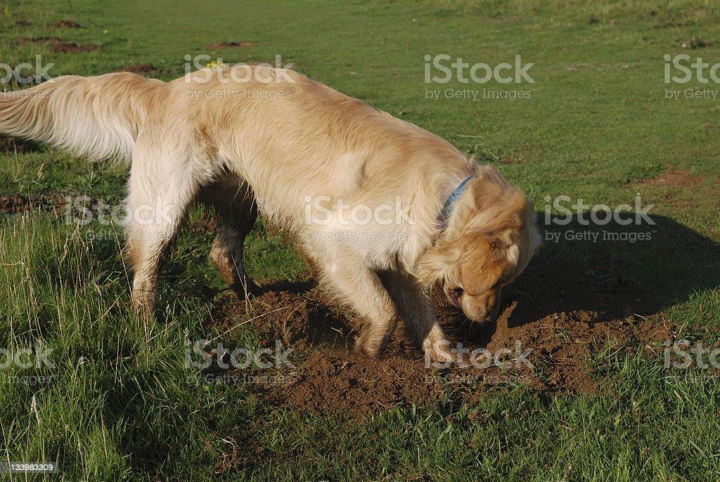 A curious Golden Retriever digging a hole stock photo