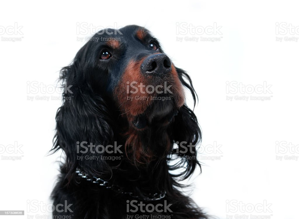 Curious Gordonsetter royalty-free stock photo