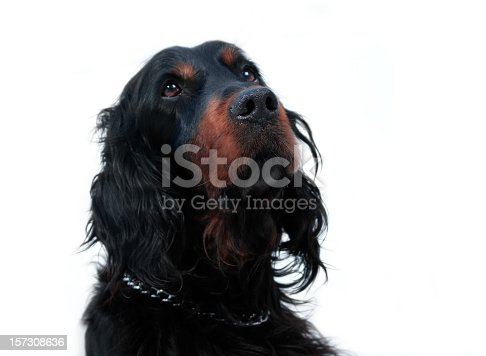 Head of the hunting dog isolated on white.See my similar photos here: