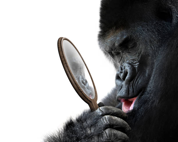 Curious gorilla looking at his handsome self reflection in mirror and picture id683590614?b=1&k=6&m=683590614&s=612x612&w=0&h=9asiwj2 dqf9 8hsfzwlvekdvogijvkrstjbsaxguka=