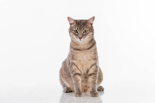 Curious Gray Cat Sitting on the White Table stock photo