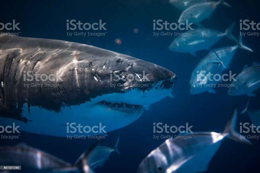 Curious Great White stock photo