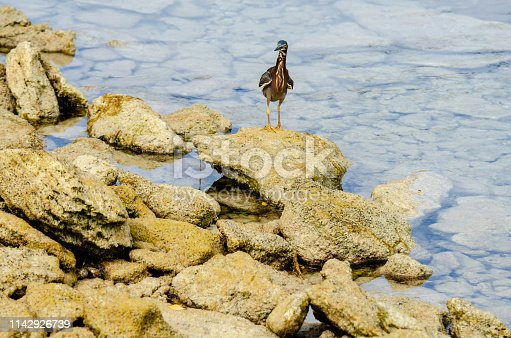 A curious greenback heron lands on the rocks nearby to investigate