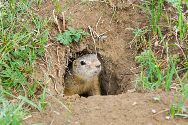 a curious ground squirrel looks out of the hole. - altai nature reserve стоковые фото и изображения