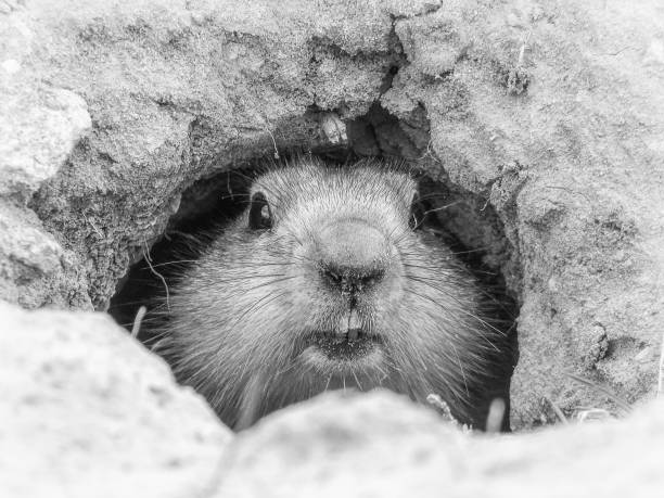 curiosa marmota - augurio de primavera, baikonur, kazajstán - groundhog day fotografías e imágenes de stock